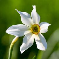 Wild white daffodil